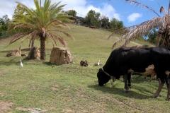 Antigua_7apr2018_Hawksbill_bovino_9925c_rid