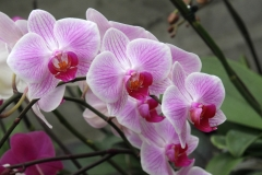 Orchidee_12feb2021_8935c-rid