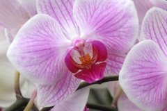 Orchidee_12feb2021_8935c2-rid
