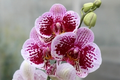 Orchidee_12feb2021_8937_1c-rid