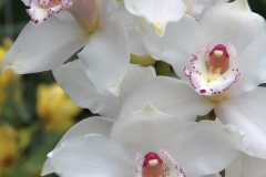 Orchidee_12feb2021_8947c-rid