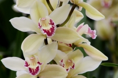 Orchidee_12feb2021_8948_1c-rid