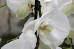 Orchidee_12feb2021_8987c-rid