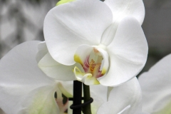 Orchidee_12feb2021_8987c2-rid