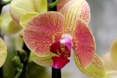 Orchidee_12feb2021_8991_1c-rid