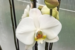 Orchidee_12feb2021_Sm_121629c-rid