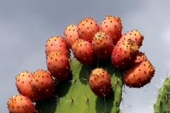 Sardegna_23set2019_5561c2_Bonarcado_cactus-rid